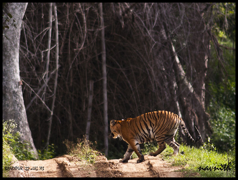PHOTOGRAPHING tIGERS-A challenge-