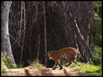 Title: PHOTOGRAPHING tIGERS-A challenge-