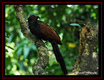 Title: The Asian Koel