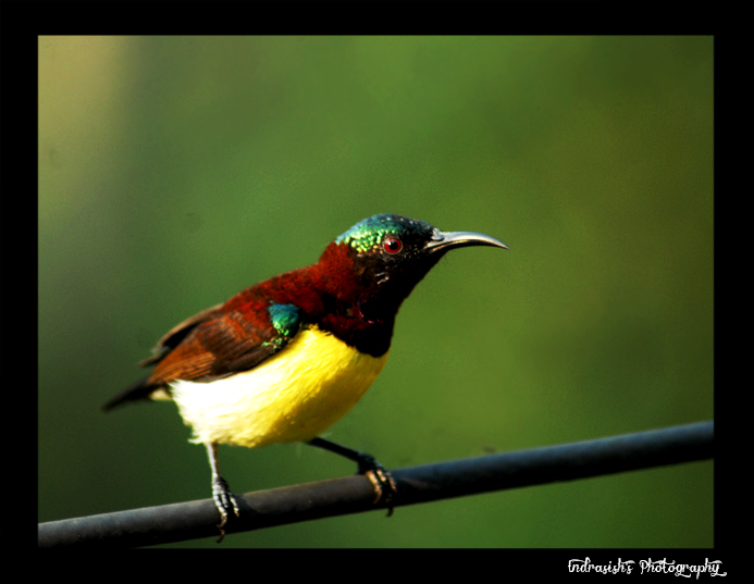 The Purple Rumped Sunbird
