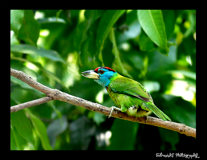 The Blue Throated Barbet