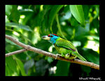 Title: The Blue Throated Barbet