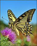 Title: Swallowtail Camera: Canon EOS 350D