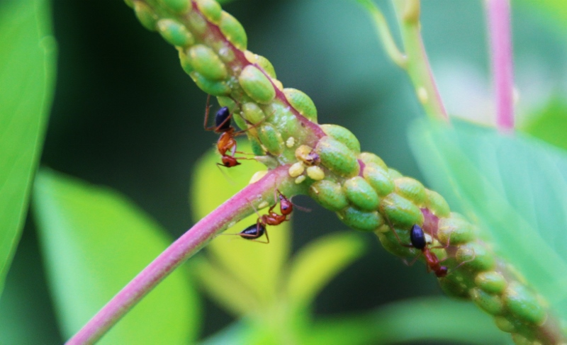 Ants Protecting Green Scales
