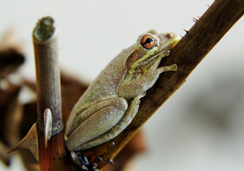 Protection of Thorns - Cuban Tree Frog