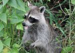 Title: Silly Raccoon