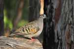 Title: Common Bronzewing