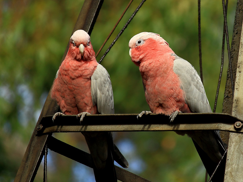 Galahs on windmill
