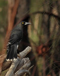 Title: Grey Currawong (Strepera versicolor)