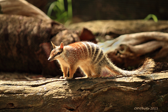 an introduction to the nature of the numbat How to spot a numbat in the wild  land clearing and the introduction of feral animals  and the reintroduced populations at boyagin nature reserve and .