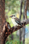 Title: Laughing Kookaburra