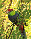Title: Red-capped Parrot