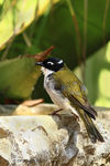 Title: White-naped Honeyeater