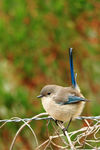 Title: Blue Wren - Male eclipsecanon 600D