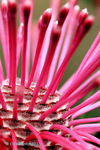 Title: Pincushion Coneflower