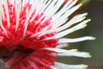 Title: Pin cushion Hakea