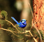 Title: Male Spendid Fairy Wren