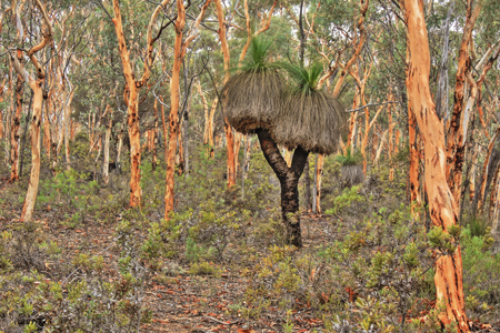 Grass Tree in Wandoo woodland