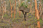 Title: Grass Tree in Wandoo woodlandcanon 600D