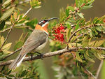 Title: Western Spinebill - Male