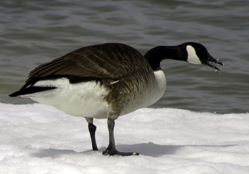 hungry duck for snow or fish?