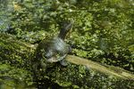 Title: Map turtle