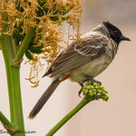 Title: A red vented bulbul