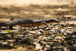 Title: INDIAN WATER MONITOR LIZARD