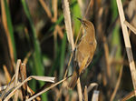 Title: CLAMOROUS REED WARBLER