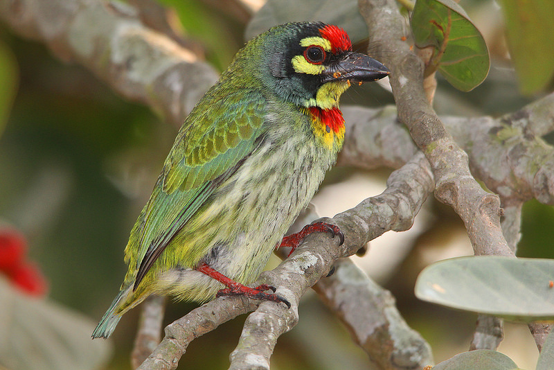 COPPERSMITH BARBET