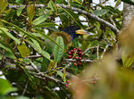Title: GREAT BARBET