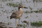 Title: GREAT THICK KNEE