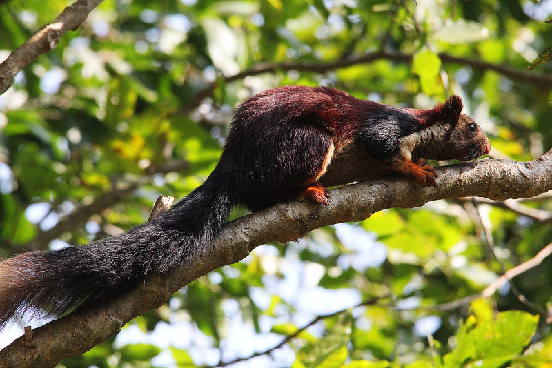 INDIAN GIANT SQUIRREL