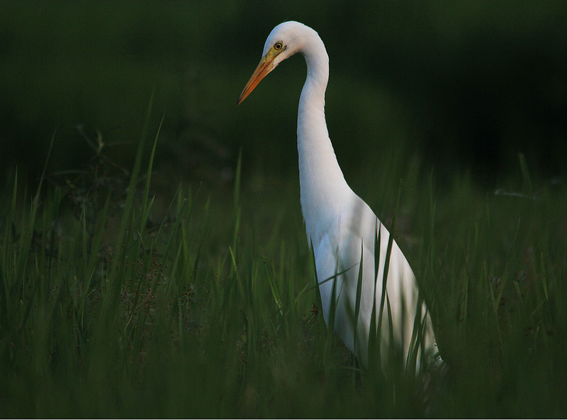 CATTLE EGRETS?