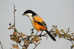 Title: LONG TAILED SHRIKE