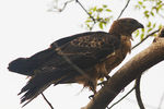 Title: ORIENTAL HONEY BUZZARD