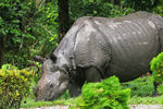 Title: INDIAN RHINOCEROSCanon 60D