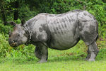 Title: INDIAN RHINOCEROS 2Canon 60D