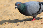 Title: INDIAN ROCK PIGEON