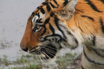 Title: INDIAN TIGERCanon 60D