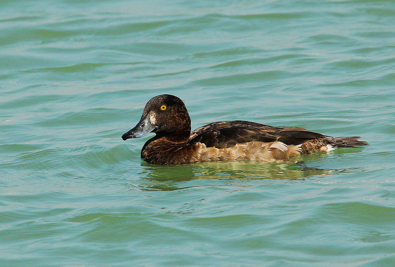 TUFTED DUCK FEMALE