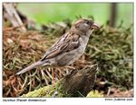 Title: Huismus - Sparrow