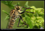 Title: robberfly-roofvlieg