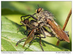 Title: Robberflies, matingOlympus OMD M5