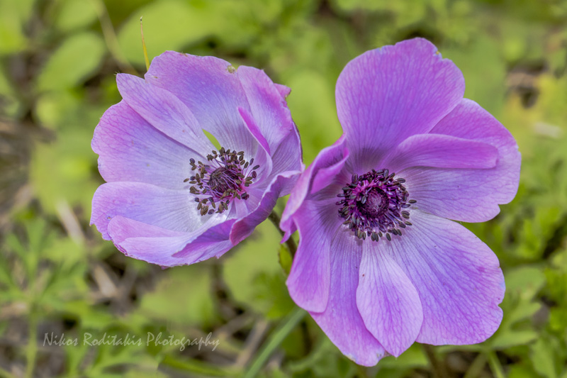 treknature anemone coronaria photo. Black Bedroom Furniture Sets. Home Design Ideas
