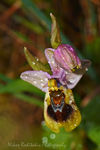 Title: Ophrys tenthredinifera