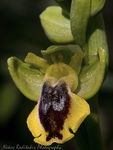Title: Ophrys sicula