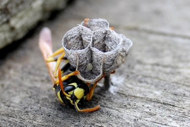 wasp with egg in a nest