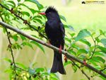 Title: Asian Black Bulbul