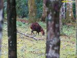 Title: Indian muntjac
